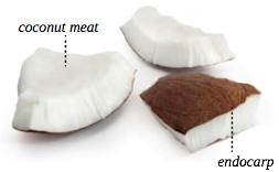 coconut anatomy